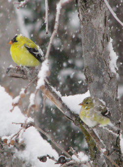 PHOTO: gold finches