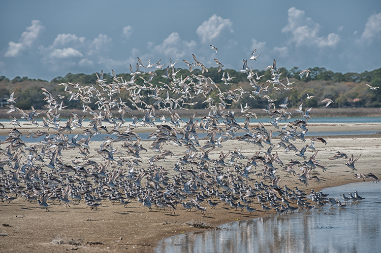 PHOTO: Red Knots, photo by: Ann R. Gridley